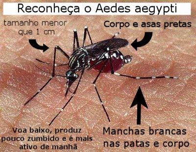 Aedes aegypti - Mosquito da dengue